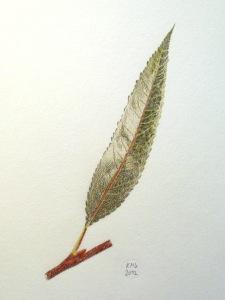 Farbstift-Zeichnung eines Weidenblattes